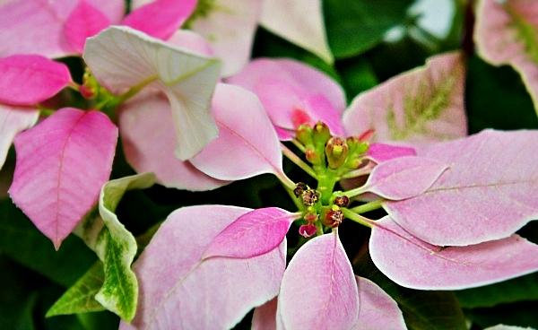 鉢植え「スノーマンの贈り物」 ピンク色ポインセチア