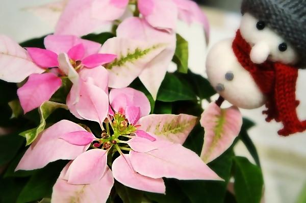 鉢植え「スノーマンの贈り物」 プリンセチア
