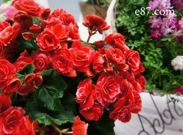 母の日 鉢植え「リーガースベゴニア ボリアスダーク」2