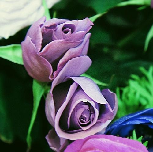 日比谷花壇 サントリー blue rose APPLAUSE ブルーローズ アプローズ フレグランス 香水